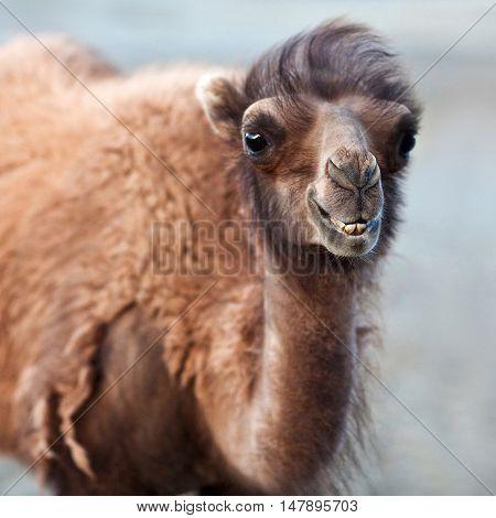 Bactrian Camel in desert of Nubra valley Ladakh North India