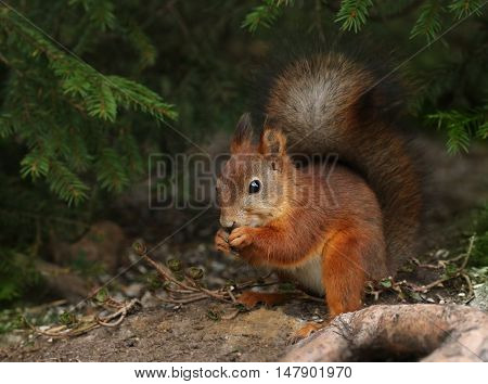 Cute red squirrel in natural green forest environment