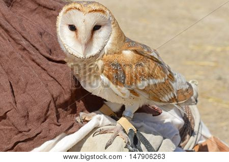 the very beautiful Barn Owl Tyto alba