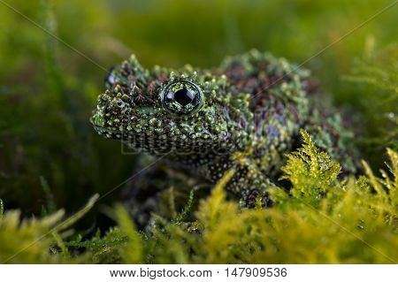 Vietnamese Mossy Frog (Theloderma Corticale) deep in thick vibrant green moss