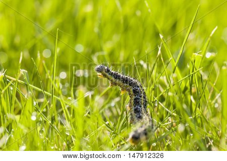Yellow and black textured butterfly larva crawl on grass