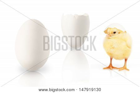 Small Yellow Chicken, Part Of White Eggshell, Single Egg