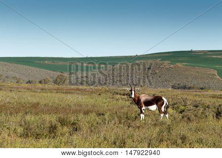 Bontebok In A Wide Open Field