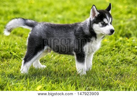 Puppy husky stands on the grass black and white color
