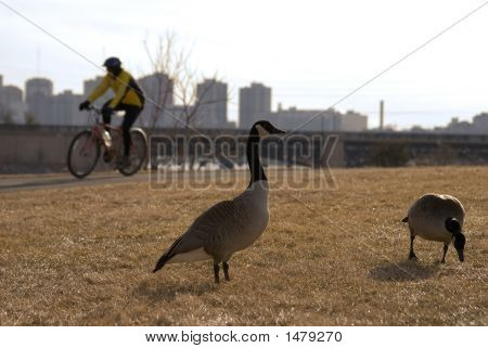 Geese In Cityscape