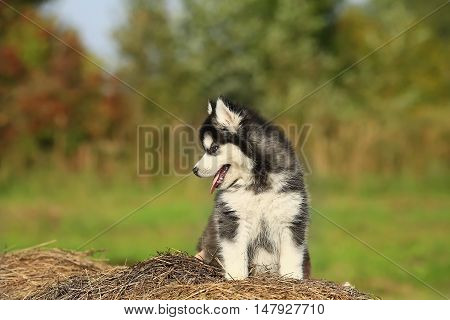 Puppy Malamute. He sits on dry grass 1 month