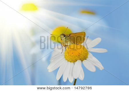 small orange butterfly on chamomile