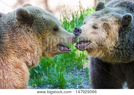 Brown Bear Kiss