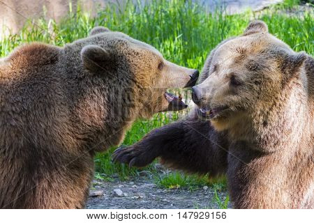 Brown Bear Mma