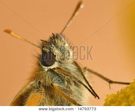 small orange butterfly macro portrait
