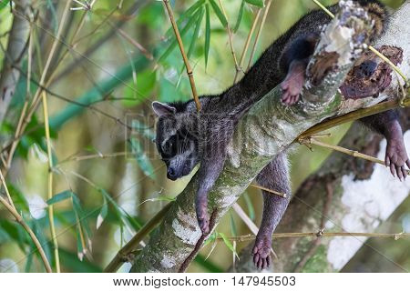 Raccoon In The Rain Forest