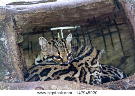 Ocelot Or Painted Leopard - Leopardus Pardalis