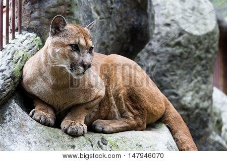Cougar Or Mountain Lion - Puma Concolor