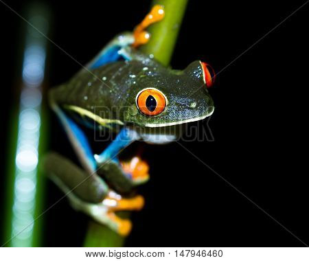 Red-eyed Tree Frog - Agalychnis Callidryas
