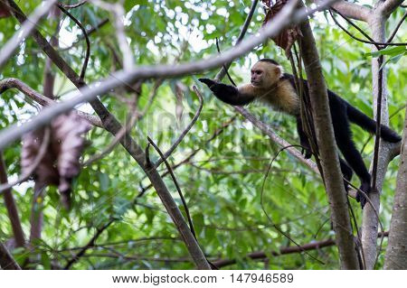 White Faced Or Capuchin Monkey
