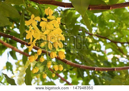 Cassia fistula.Golden Shower Tree  : copy space for add text above and may be used as background :