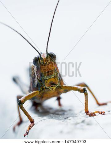Giant Tropical Grasshopper