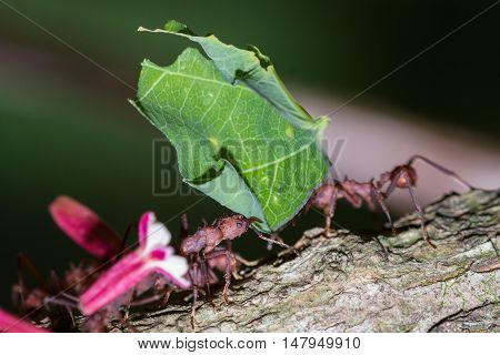 Leaf Cutter Ants In The Rainforest Floor