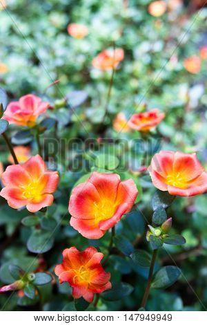 Orange Blooms On Purslane