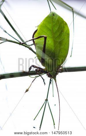 Green Leaf Bug - Katydid