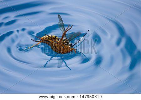 Spider Killing Wasp