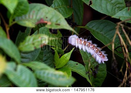 Tropical Caterpillar In The Jungle