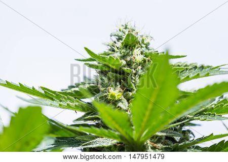 Healthy Cannabis Plant