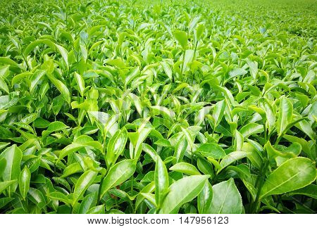 Green tea leaves background under the sunlight of spring