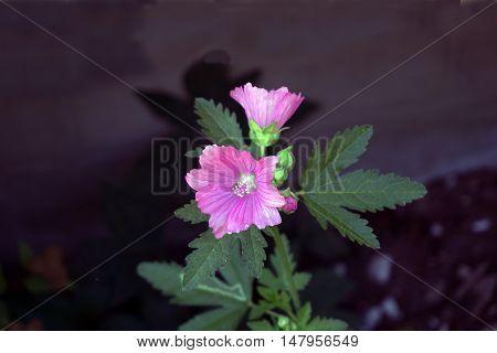 A wild geranium (Geranium maculatum), also called the spotted geranium and wood geranium, blooms in Harbor Springs, Michigan during August.