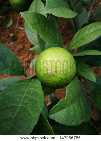 Close up of fresh lemon fruit with green leaves on tree