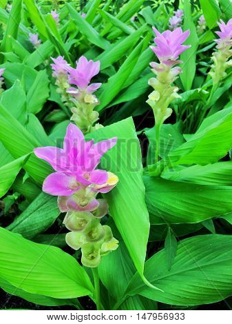 Bed of violet flowers Curcuma sessilis in Thailand