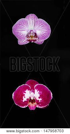 Red with pink orchid flowers against a dark background
