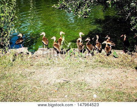 group of brown birds with orange beaks sit on pond shore