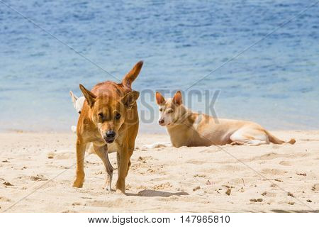 Angry wild dog at a tropical beach in thailand running at the beach with a fierce face