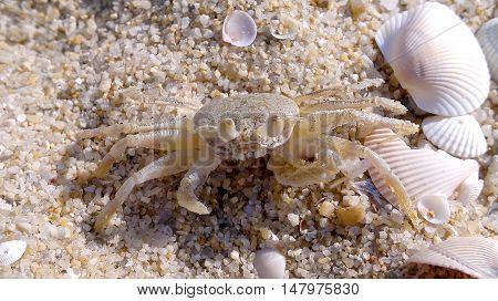 Crab on the beach for background or Illustarte