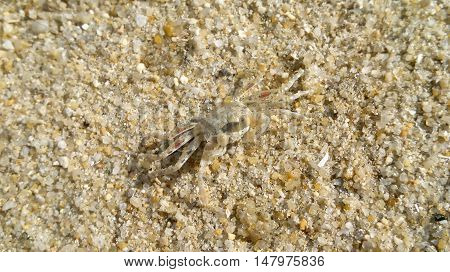 Crab on the beach for background or Illustrate