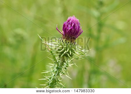 Thistle (Cirsium vulgare ) flower bud on a green blurry background