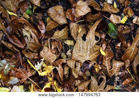 Wet after the rain brown and yellow autumn leaves behind a dense layer on the ground