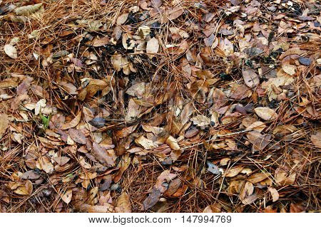 Conifer needles and autumn leaves covering the ground