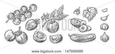 Cucumbers Garlic and Tomato - whole half slices leaf and flower. Isolated on the white background. Vector color hand drawn vintage engraving illustration for poster label menu web.