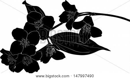 illustration with jasmin flowers silhouette on white background