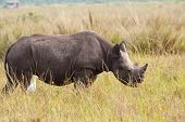 A young black rhinoceros with a cattle egret in attendance. poster