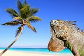 Mexican iguana in tropical Caribbean beach coconut palm tree poster