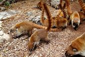 Coati ring Tailed typical  animal in South America poster