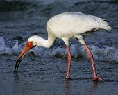 florida ibis searches for breakfast food in the morning surf. poster