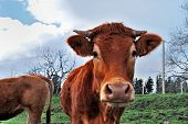 Cow on pasture near Bermeo Bizkaia Spain poster