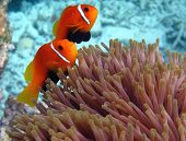 A pair of Maldives anemonefish protect the host magnificent sea anemone poster