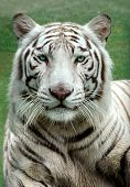 White Bengal Tiger in a close up view portrait looking into the camera poster
