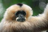 White-cheeked gibbon monkey poster