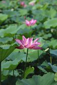 Lotus flowers and seedpod,beautiful pink with purple lotus flowers blooming in the pond in summer poster